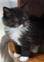 black and white kittens with blue eyes for sale. Cinnamon Ragdoll Kittens For Sale With Black And White Blue Eyes