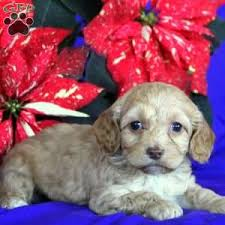kapoo puppies for in pa goldenacresdogs