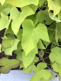 Light Green Sweet Potato Vine Light Green Sweet Potato Vine Ipomoea Batatas Hanging