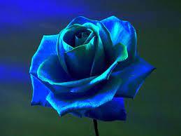 Mobile Sky Blue Rose Flower Wallpaper
