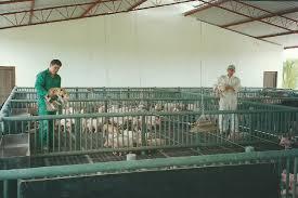 Tabiques De Separación Para Las Granjas Prefabricadas De HormigónPrecio Granja De Cerdos Engorde