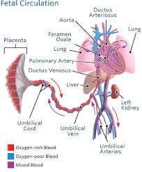 Blood Circulation In The Fetus And Newborn Childrens