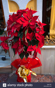 Weihnachtssterne Sind Fröhliche Pflanzen Die überall