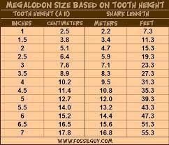 Shark Teeth Chart Megalodon Fossil Shark Tooth Size Vs