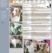 Mix Australian Shepherd Dog Herding Dog Breeds From The