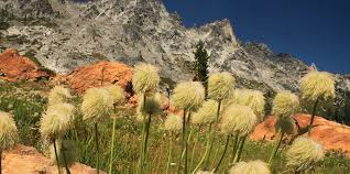 while the western pasque flowers found in the trinity alps might not be as brightly colored as the truffula trees they cernly have a fluffy quirkiness