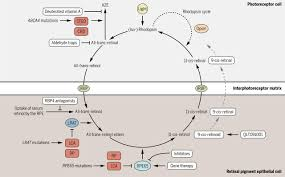 Visual Cycle Flow Chart Emerging Therapies For Inherited Retinal Degeneration