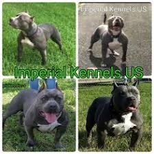 pitbull bully puppies ukc