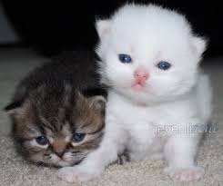 baby himan kittens tabby white teacup persian kittens together