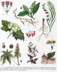 Лекарственные растения и травы картинки с названиями описание и  Все растения разделены на две группы 1 введенные в научную медицину и включенные в фармакопеи Советского Союза 2 используемые в народной медицине
