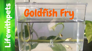 Goldfish Fry From Birth To 4 Weeks