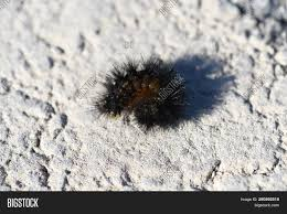Black Caterpillar Identification Chart Black Caterpillar Image Photo Free Trial Bigstock