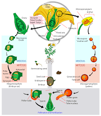Plant Life Cycle Flow Chart Glossary Of Plant Morphology Wikipedia