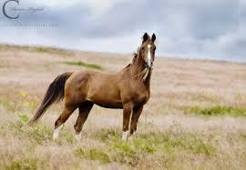 chestnut arabian horse wallpaper. Delighful Wallpaper Chestnut Arabian  Stallion Cavalo Horse Animals Inside Horse Wallpaper A