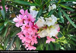 Pink and white oleander or Nerium flower - Royalty free photo - #27088240