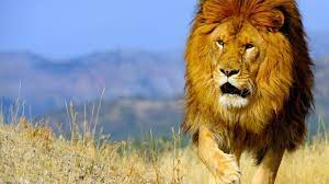 Barbary Lion Wallpaper on HipWallpaper ...
