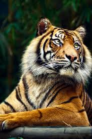 tiger iphone wallpaper. Delighful Iphone Siberian Tiger IPhone 5 Wallpaper  For Iphone R