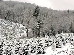 Image from the Watauga County Christmas Tree Association