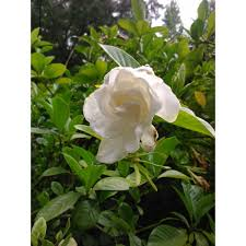 3 gallon august beauty gardenia fragrant silky white flowers from spring fall
