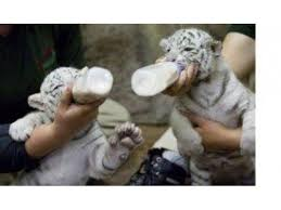 baby white tigers for sale. Contemporary Sale ADDORABLE BABY WHITE TIGERS AND LION CUBS FOR SALE And Baby White Tigers For Sale