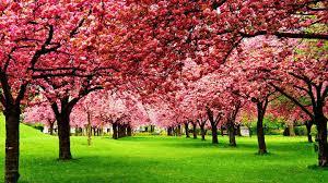 nature photography cherry tree