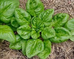 Cómo cultivar espinacas en el huerto de tu casa
