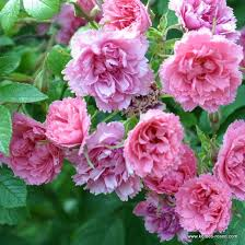 rose pink grootendorst rosa rugosa pink grootendorst