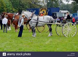 Canadian Light Horse Heavy Horse Stallions Pulling Light Two Wheeled Buggies Of