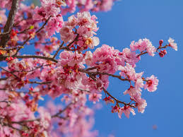 Cherry Blossom Light Tree Bunnings How To Grow Cherry Blossoms At Home Realestate Com Au
