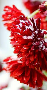 Red Flower Wallpaper Macro Red Flowers Full With Snow Hd Wallpaper