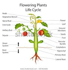 Plant Chart Education Chart Biology Flowering Plants Diagram Stock