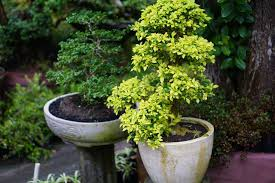 growing trees and shrubs in pots