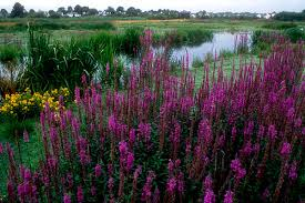 Image result for ​Wetland Plant front yard