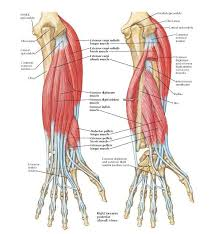 It also helps bend the wrist in the direction of the thumb. Diagram Extensor Tendons Forearm Wiring Diagram Know Active A Know Active A Bujinkan It