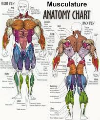 Muscle Chart Template. Muscle Chart With Accurate Description Of The ...