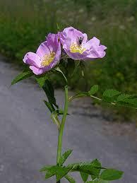 Glaucous Dog Rose, Rosa vosagiaca - Trees and shrubs - NatureGate