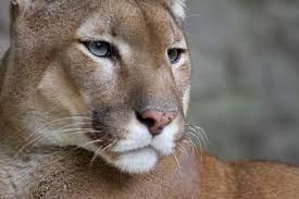 Dosya:Puma face.jpg - Vikipedi