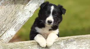 border collie names perfect names for