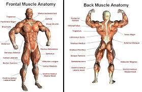 Upper Leg Muscle Chart Upper Back Anatomy Chart Futurenuns Info