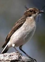 Anis kembang semar mesem merayu betina perawan. Tips Mengetahui Perbedaan Fisik Burung Decu Kembang Jantan Dan Betina Kicau Mania
