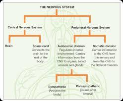 Cns And Pns Chart Parts Of Nervous System Chart Www Bedowntowndaytona Com