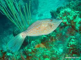 scrawled filefish. Delighful Scrawled Scrawled Filefish Throughout T