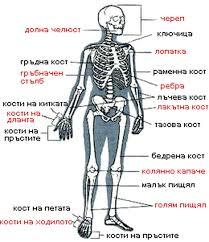 Човешкият скелет и кости Реферат от Биология Човешкият скелет и кости
