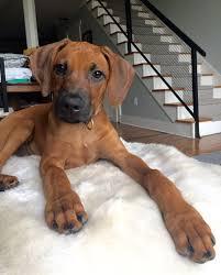 Image result for rhodesian ridgeback puppy