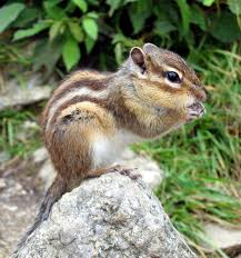 Asian chipmunk care info