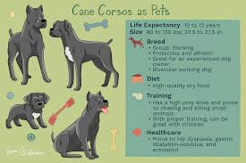 Cane Corso Weight Chart Pounds Cane Corso Full Profile History And Care