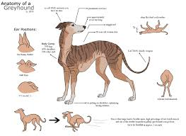 Anatomy Of A Greyhound A Scientific Reference By Lizbeast
