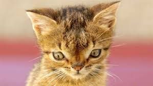 Image of: Funny Otto The Cat All Thats Interesting Animals With Down Syndrome Debunking This Mistaken Trend