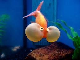 petsmart black goldfish. Modren Petsmart With Petsmart Black Goldfish A