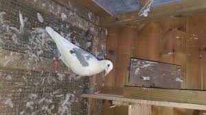 carrier pigeon for sale. racing pigeon carrier for sale